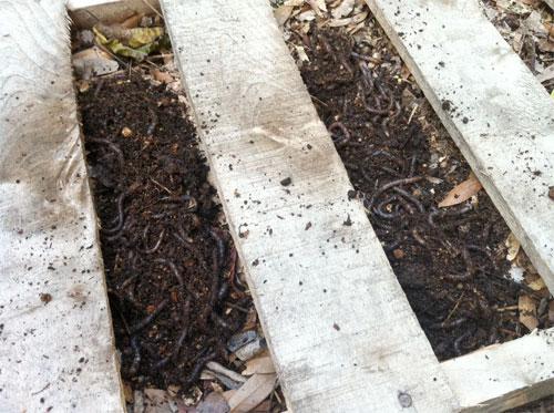 Alabama Jumper Worms